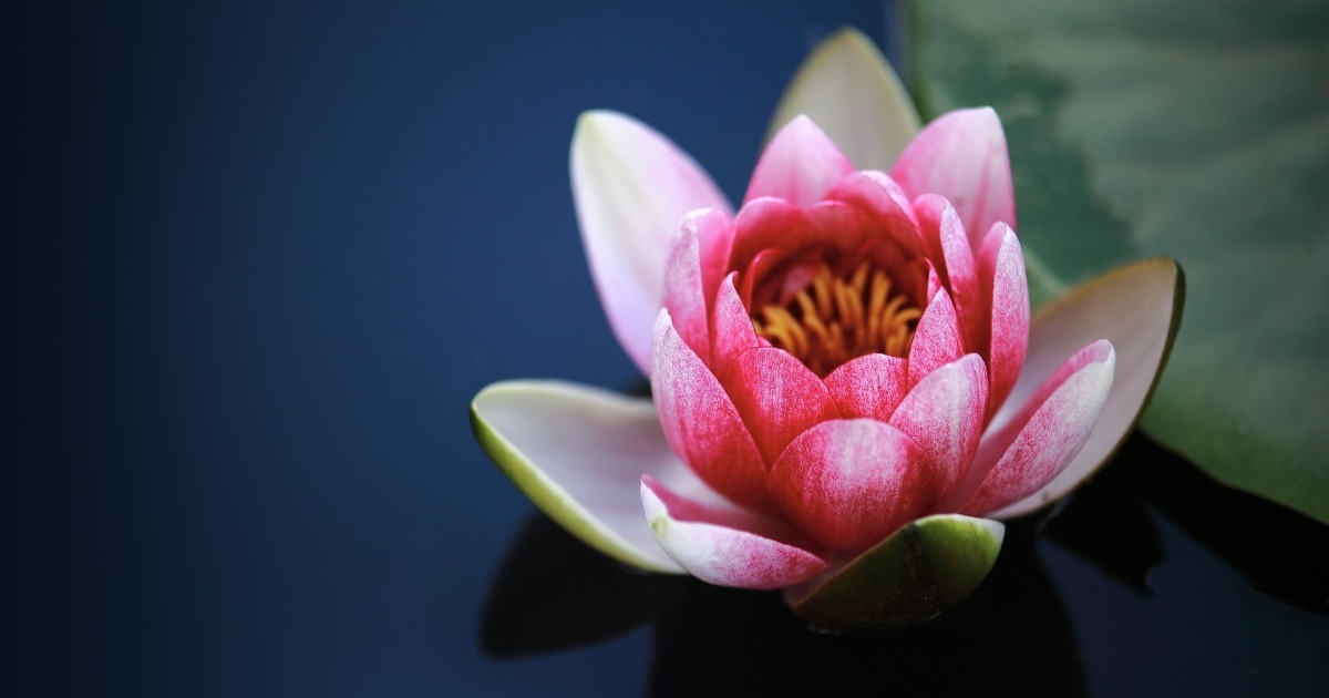 Fleur de lotus: signification et symbole - Definitions360